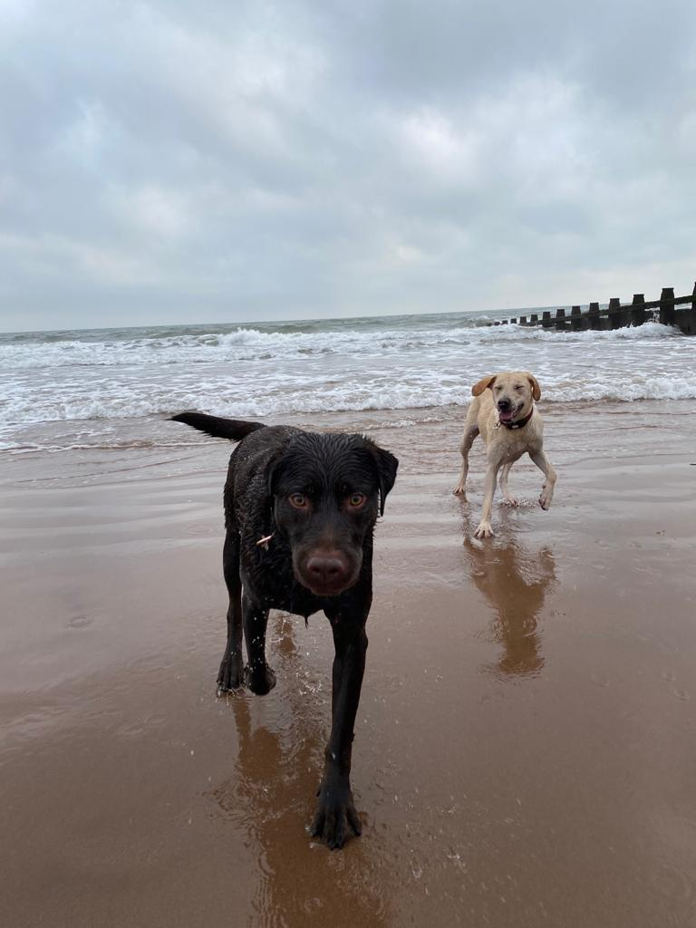 Two Labradors at the beach