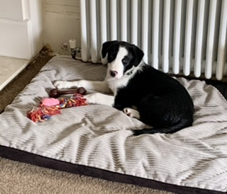 Border Collie on his bed