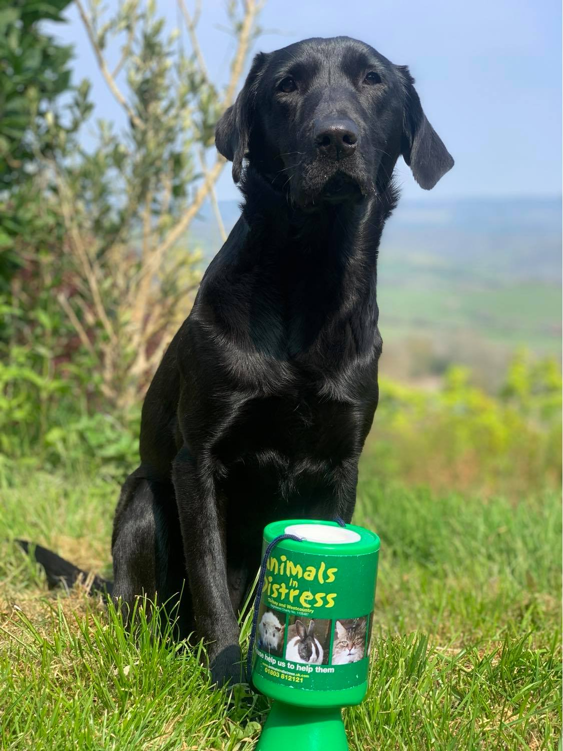 Black Labrador sat with charity collection tin
