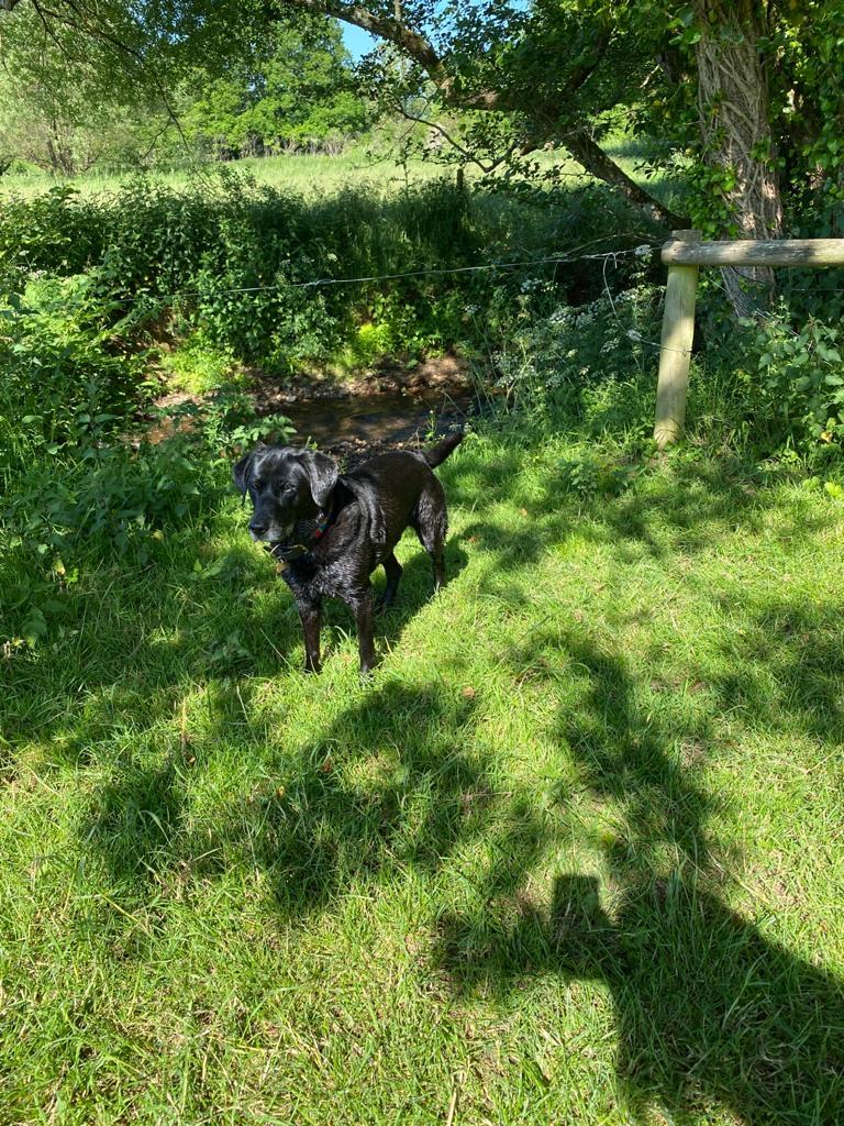 Black Labrador in the grass