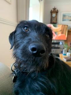 Black Labrador crossed Jack Russell Terrier