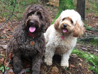 Two Cockerpoos in the woods