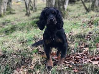 Spaniel in the woods