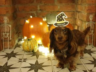 Miniature Dachsund with pumpkin display