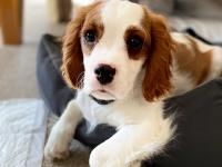 Brown and white Cavalier King Charles Spaniel