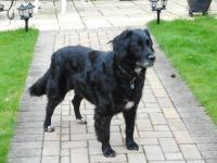 Black Collie cross dog