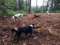 Several dogs all playing in the woods