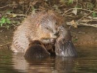 Photo of a beaver in the water