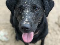 Close up of a black Labrador