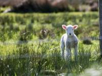 Lamb standing in field