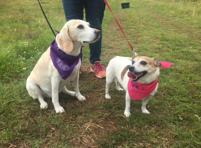 A picture of a labrador and smaller corgi-type dog wearing bandanas and waiting for a walk